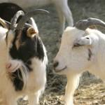 Rules of Hallal Animal