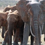 Army Of Elephants