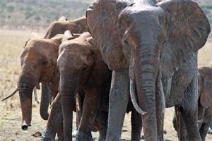 Army Of Elephants