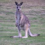 Is Kangaroo Meat Halal