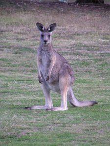 Is Kangaroo Meat Halal